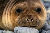 Weddell Seal, South Georgia Island, Sub-Antarctica