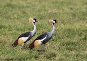 Two Crowned Cranes, Ngorongoro Crater, Tanzania