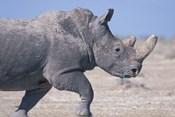 White Rhino Running, Etosha Salt Pan, Etosha National Park, Namibia
