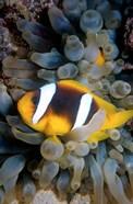 Twobar Anemonefish, Bubble Tip Anemone, Egypt