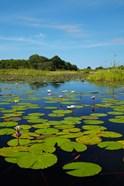 Water lilies, Okavango Delta, Botswana, Africa