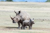 White rhinoceros mother with calf, Kenya