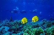Yellow Butterflyfish with Scuba Divers, Red Sea, Egypt