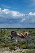 Young Burchells zebra, burchellii, Etosha NP, Namibia, Africa.