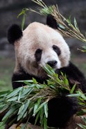 Asia, China Chongqing. Giant Panda bear, Chongqing Zoo.