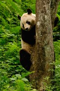 Giant panda bear Climbing a Tree