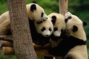 Four Giant panda bears