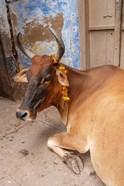 Cow withFflowers, Varanasi, India