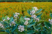 Flower Field, Southern India