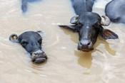 Water Buffalo in Ganges River, Varanasi, India