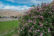 Pink roses at campsite near the Hemis Monastery, Ladakh, India