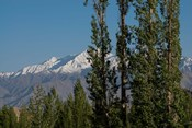 India, Ladakh, Leh, Trees in front of snow-capped mountains