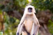 Monkey, Ranthambore National Park, Rajastan, India
