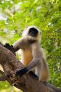 Monkey, Rajastan, India