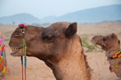 Close-up of a camel, Pushkar, Rajasthan, India.