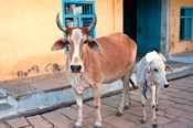 Cow and calf on the street, Jojawar, Rajasthan, India.