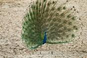 Indian Peafowl, Bandhavgarh National Park, India