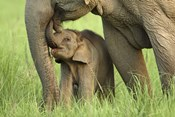 Elephant and Young, Corbett National Park, Uttaranchal, India