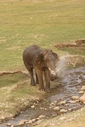 Elephant at waterhole, Corbett NP, Uttaranchal, India