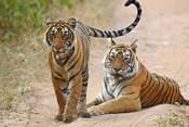 Pair of Royal Bengal Tigers, Ranthambhor National Park, India