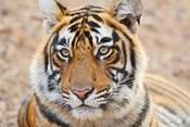 Royal Bengal Tiger Head, Ranthambhor National Park, India