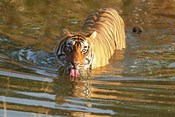 Royal Bengal Tiger in the water, Ranthambhor National Park, India