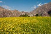 Mustard flowers and mountains in Alchi, Ladakh, India