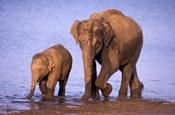 Pair of Asian Elephants, Nagarhole National Park, India