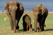 Asian Elephant Family, Nagarhole National Park, India
