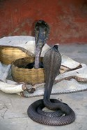 Snake Charming, Oris, India