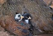 Mother hen guarding two little chicks, Orissa, India