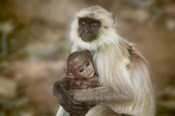 Black-Face Langur Mother and Baby, Ranthambore National Park, Rajasthan, India