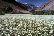 India, Ladakh, Suru, White flower blooms