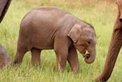 Indian Elephant calf,Corbett National Park, India