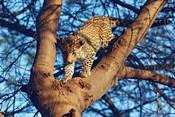 Leopard wildlife, Ranthambhor National Park, India