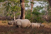 One-horned Rhinoceros and young, Kaziranga National Park, India