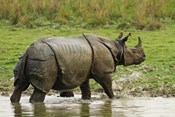 One-horned Rhinoceros, coming out of jungle pond, Kaziranga NP, India