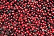 Asia, India, Darjeeling. Red berries, Fresh Fruits