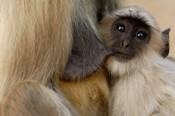 Hanuman Langur monkey feeding, Ranthambhore NP, Rajasthan INDIA