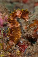 Close-up of adult spiny seahorse