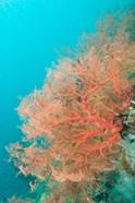 Sea Fan, Raja Ampat region, Papua, Indonesia
