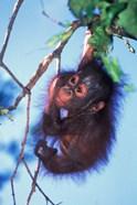 Baby Orangutan, Tanjung Putting National Park, Indonesia