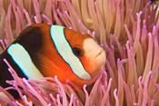 Anemonefish, Scuba Diving, Tukang Besi, Indonesia
