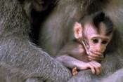 Indonesia, Bali, Ubud, Long tailed macaque