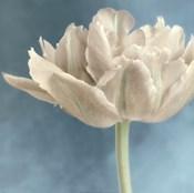 White Tulip I