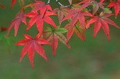 Maple Leaves, Kyoto, Japan