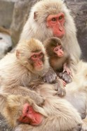 Japan, Nagano, Jigokudani, Snow Monkey Family