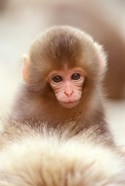 Japan, Nagano, Jigokudani, Snow Monkey Baby