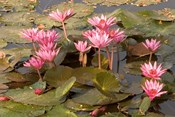 Pink Lotus Flower in the Morning Light, Thailand