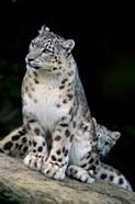 Snow Leopard, Uncia uncia, Panthera uncia, Asia